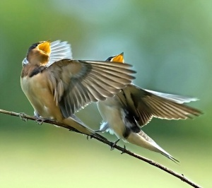 singing-birds
